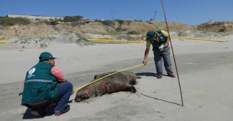 Aparecen 39 lobos marinos muertos en playas del norte de Perú