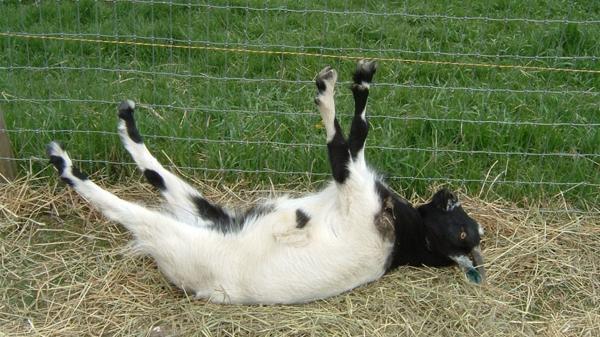 La insólita reacción de las cabras al ver un paraguas abierto