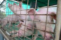 Los porcicultores respiran