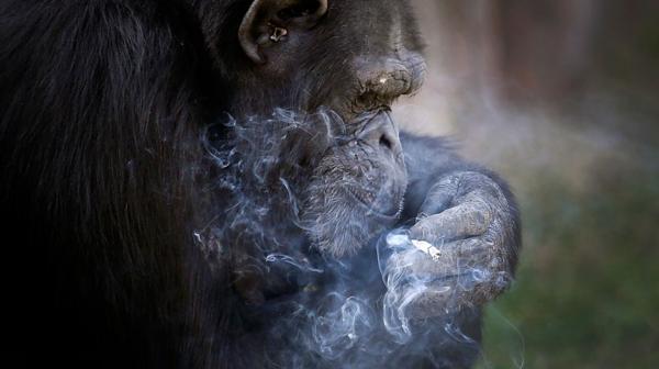 Azalea, la chimpancé que fuma un paquete de cigarrillos por día
