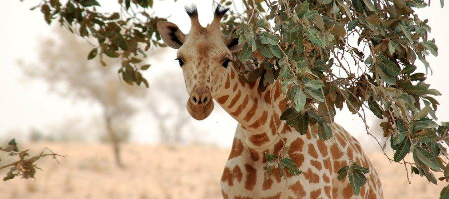 ¡EN PELIGRO!: La población mundial de jirafas se redujo un 40% en 30 años