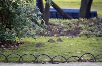 Cierran parques y jardines en París por invasión de ratas