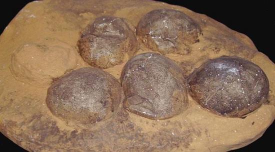 Los huevos de dinosaurio tenían un periodo de incubación de 3 a 6 meses