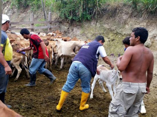 Vacunan a 180 mil cabezas de ganado