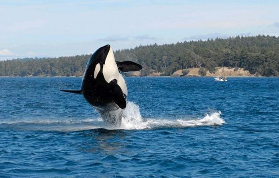 Muere Tilikum, la orca asesina de SeaWorld que protagonizó 'Blackfish'