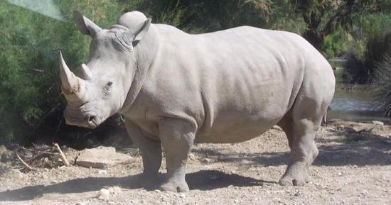 Apuestan por las células iPS para salvar al casi extinto rinoceronte blanco norte
