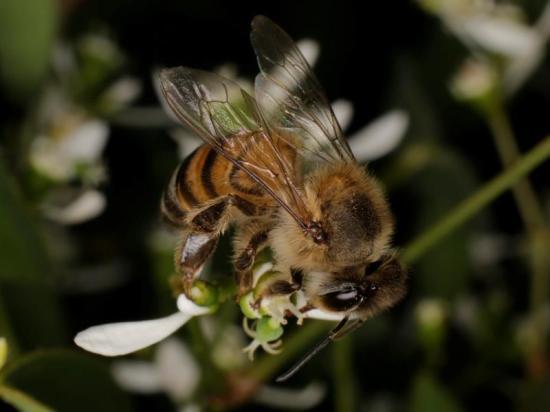 Entra en lista de animales en peligro abeja de territorio continental de EEUU