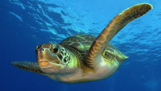 Tortugas marinas utilizan la posición del sol para orientarse, según estudio