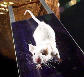 Ratones convertidos en feroces depredadores al activarles circuito cerebral