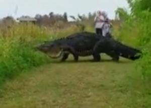 Video de un enorme cocodrilo cruzando un sendero en Estados Unidos se vuelve viral
