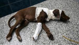 Indignación por muerte de un perro despellejado por su dueño