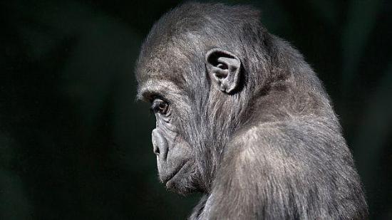 Posible extinción de primates preocupa a los científicos en Estados Unidos