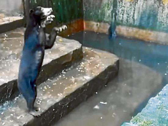 Osos suplican por comida en zoológico