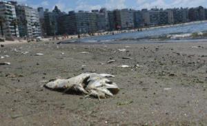 Aparecen cientos de peces muertos en playas de Uruguay ante ola de calor