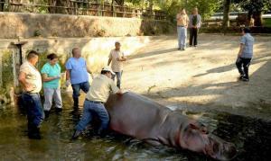 Muere hipopótamo que fue atacado por humanos en un zoológico de El Salvador