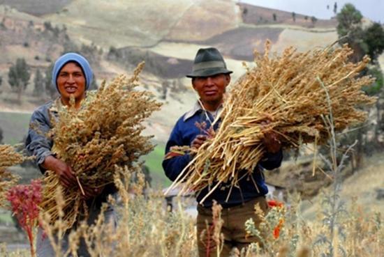 La quinua es el grano de oro indígena