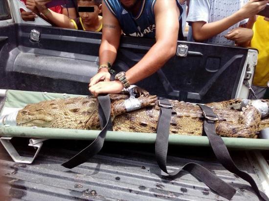 Hallazgo de un caimán genera alarma en el balneario San Clemente