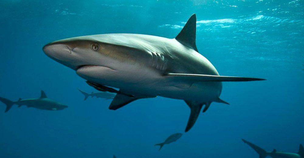 Un estudio demuestra que los tiburones valen mucho más vivos que muertos