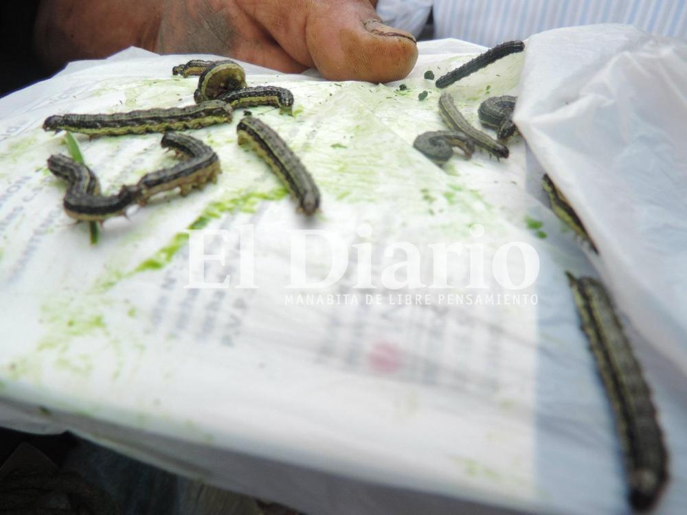 """El gusano """"cogollero"""" destruye sembríos en varios cantones manabitas"""