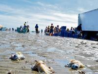 Dejan vísceras de calamar en 2 playas