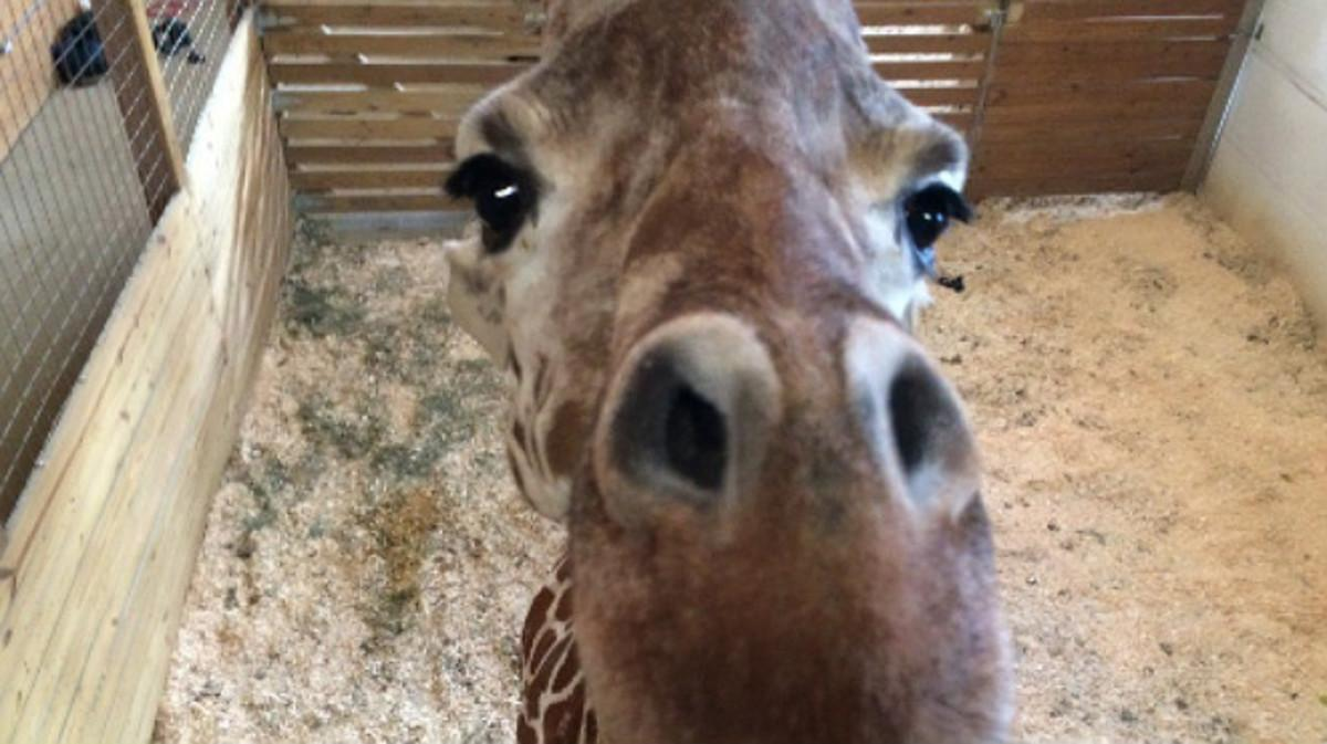Un millón de personas 'asisten' al parto de la jirafa April por Internet