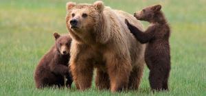 Los osos se comunican a través del olor de sus patas, según estudio
