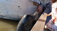 Avisan en Canadá del peligro de leones marinos tras un incidente con una niña