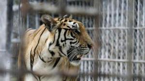 Muere una cuidadora de un zoo inglés tras ser atacada por un tigre