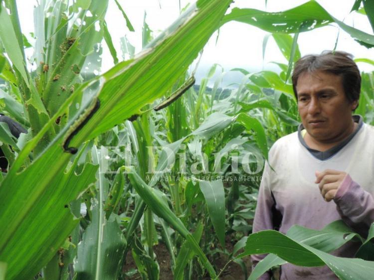 Plagas amenazan los cultivos en Manabí