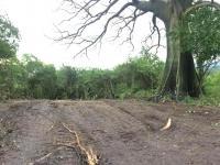 MAE investiga tala de  árboles en 'La Tomatera'