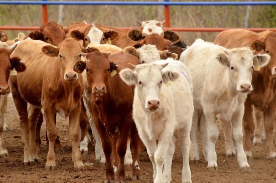 Ecuador prohíbe ingreso de carne y ganado de Colombia por fiebre aftosa