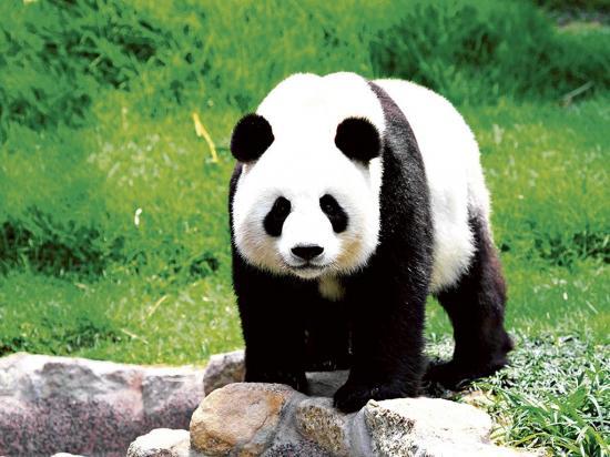 El panda gigante sale de peligro