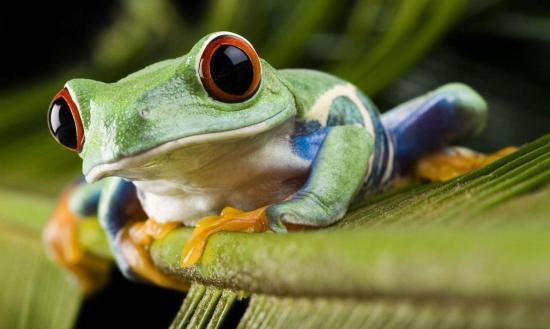 Las ranas deben su existencia a la extinción de los dinosaurios, según estudio