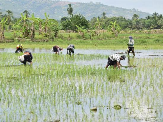 Agricultores trabajan en la cosecha de arroz para el fin de año