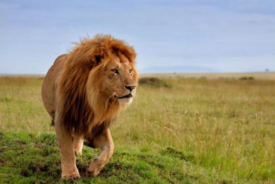 Cuatro leones escapan de un parque nacional de Sudáfrica