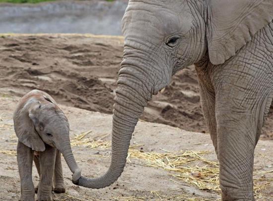 Un elefante africano macho nace en un zoológico del centro de México