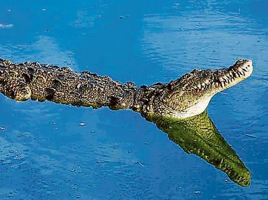 Atacado por cocodrilo en una piscina