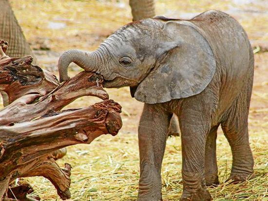 Elefante africano nace en zoológico