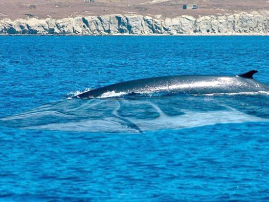 Vigilan ballena y mantarrayas