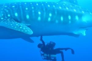 Realizan en Galápagos ultrasonido a tiburones ballena en estado silvestre
