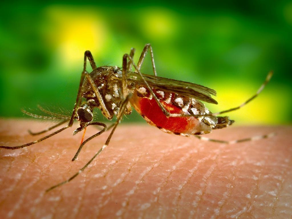 El mosquito común también puede transmitir zika, según estudio