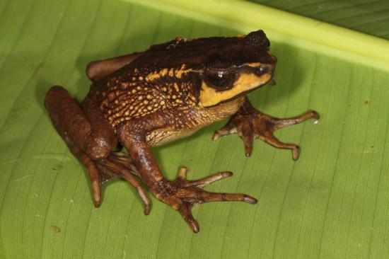 Redescubren en Ecuador un distintivo sapo que creían extinto hace 30 años