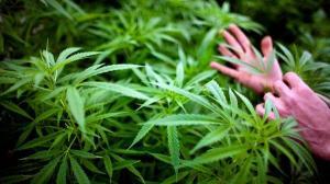 Cannabis podría funcionar como factor en prevención de diabetes, dice experto