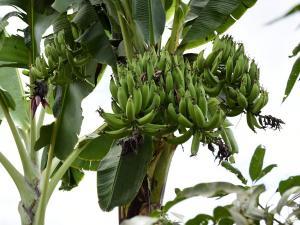 """Planta de plátano """"parió"""" 4 racimos"""