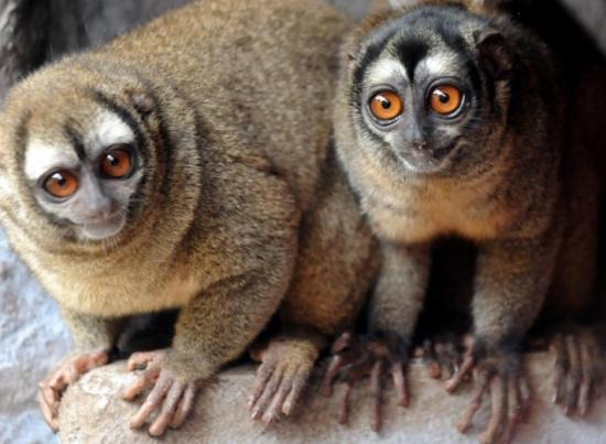 El mono nocturno de Brasil y Perú, nueva especie en peligro de extinción