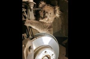 Tierno koala sobrevive tras quedar atrapado en la llanta de un carro