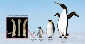 Hallan un fósil inédito de pingüino diminuto en la Antártida