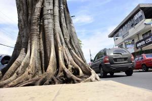 Matapalo de la avenida Manabí da señales de vida