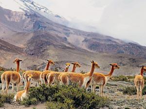 Vicuñas regresan al páramo andino
