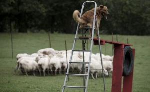 Un perro casi ciego cuida un rebaño de 210 ovejas y cabras en España